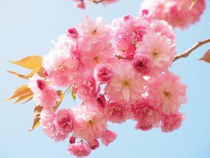 cherry-blossom-1260641_1920