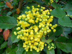 mahonia-flower-1154274_1920